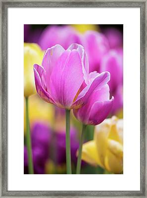 Yellow, Pink And Purple Tulips Blooming Framed Print