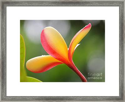 Framed Print featuring the photograph Yellow Pink Plumeria by Kristine Merc