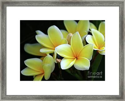 Yellow Plumeria Cascade Framed Print by Sabrina L Ryan