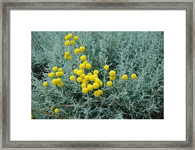 Yellow Pompoms Framed Print by Leigh Ann Hartsfield