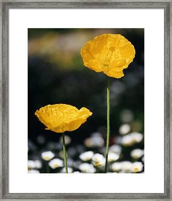 Yellow Poppies Framed Print by Robert Lozen
