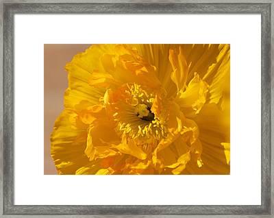Yellow Poppy Framed Print by Bonita Hensley