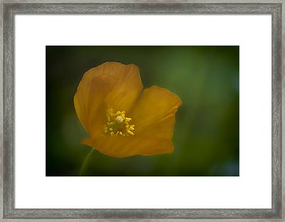 Framed Print featuring the photograph Yellow Poppy by Jacqui Boonstra