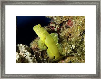 Yellow Prawn-goby Framed Print