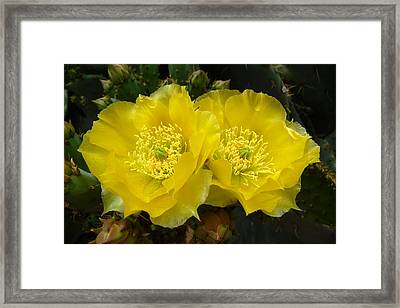 Framed Print featuring the photograph Yellow Prickly Pear Twins by Cindy McDaniel