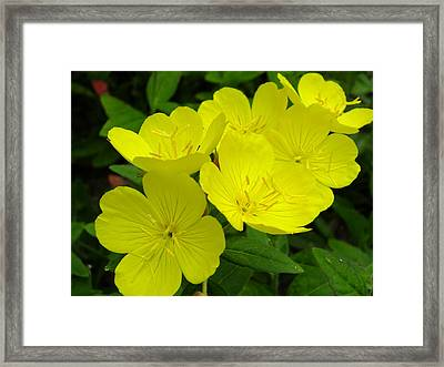 Yellow Primrose Framed Print