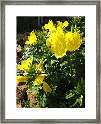 Framed Print featuring the photograph Yellow Primroses by Deb Martin-Webster