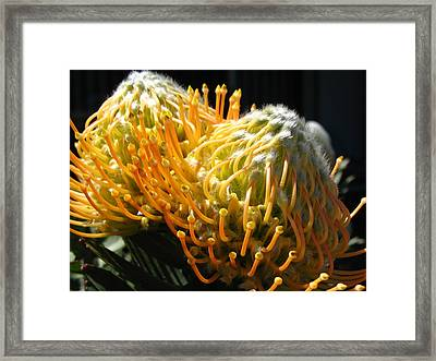 Yellow Proteas Framed Print