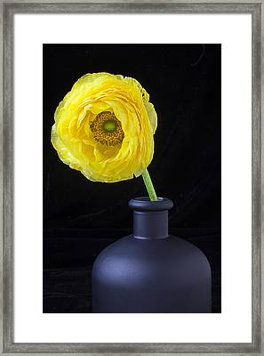 Yellow Ranunculus In Black Vase Framed Print