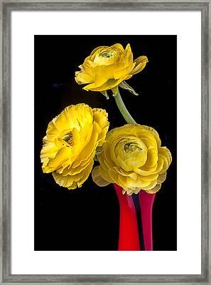 Yellow Ranunculus In Red Vase Framed Print by Garry Gay