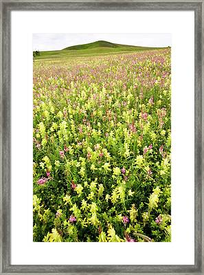 Yellow Rattle (rhinanthus Rumelicus) Framed Print by Bob Gibbons