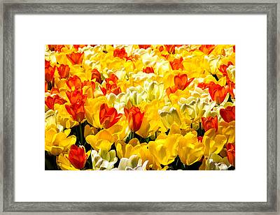 Yellow Red And White Tulips Framed Print by Menachem Ganon