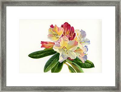 Yellow Rhododendron With White Background Framed Print by Sharon Freeman