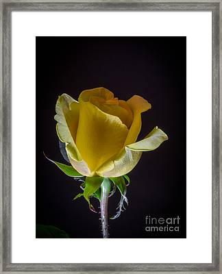 Yellow Rose 1 Framed Print by Mitch Shindelbower