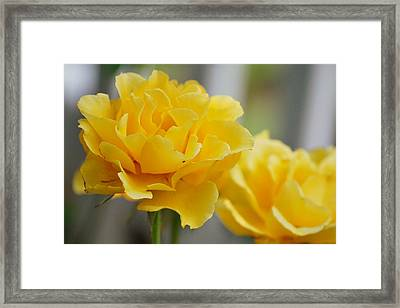 Framed Print featuring the photograph Yellow Rose by Amee Cave