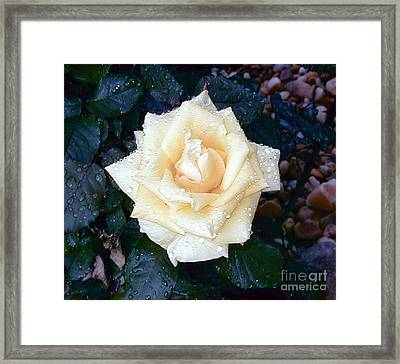 Framed Print featuring the photograph Yellow Rose At Dawn by Alys Caviness-Gober