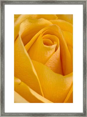 Framed Print featuring the photograph Yellow Rose by Bob Noble Photography