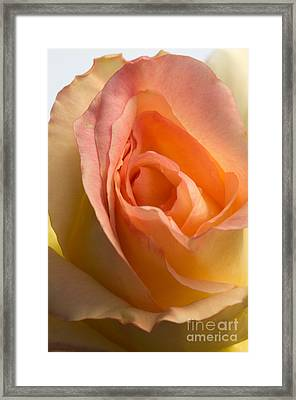 Yellow Rose Bud Framed Print
