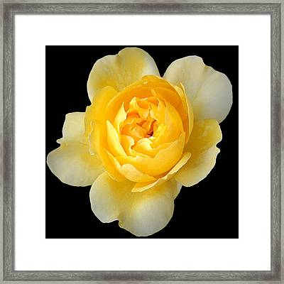 Yellow Rose Framed Print by CarolLMiller Photography