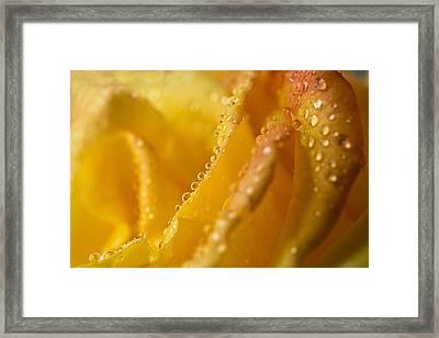 Yellow Rose Dew Framed Print