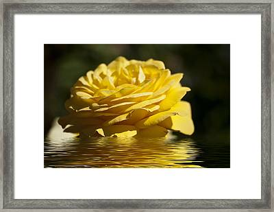 Yellow Rose Flood Framed Print by Steve Purnell