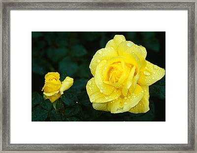 Yellow Rose Flowers Blooming, Close Up Framed Print by Panoramic Images