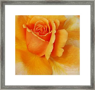 Yellow Rose Framed Print by Kathleen Struckle