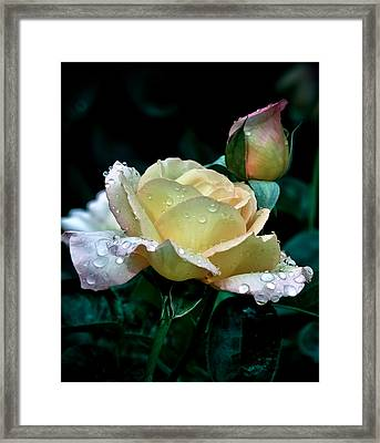 Yellow Rose Morning Dew Framed Print by Julie Palencia