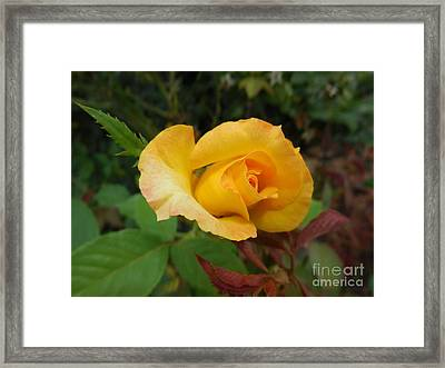 Yellow Rose Of Texas Framed Print by Eloise Schneider