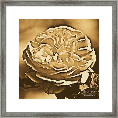 Yellow Rose Of Texas Floral Decor Square Format Rustic Digital Art Framed Print
