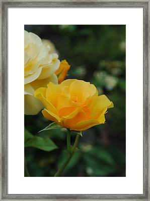 Yellow Rose Portland Framed Print by Robert  Moss