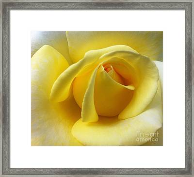 Yellow Rose Softness Framed Print