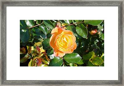 Yellow Rose Framed Print by Van Ness