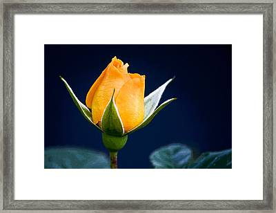 Yellow Rosebud Framed Print