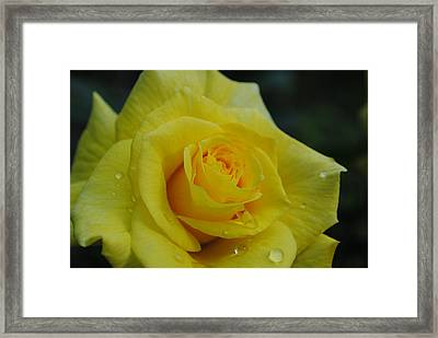 Yellow Roses Framed Print by Robert  Moss