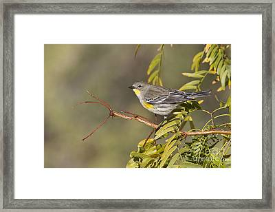 Yellow Rumped Warbler Framed Print
