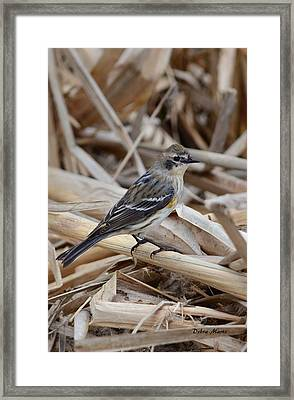 Yellow-rumped Warbler Framed Print by Debra Martz