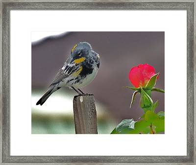 Yellow Rumped Warbler Framed Print by Helen Carson