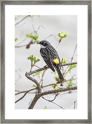 Yellow-rumped Warbler Framed Print by Jeff Swanson