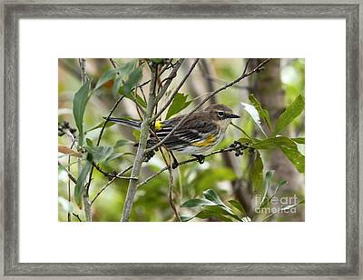 Yellow-rumped Warbler Framed Print by Jennifer Zelik