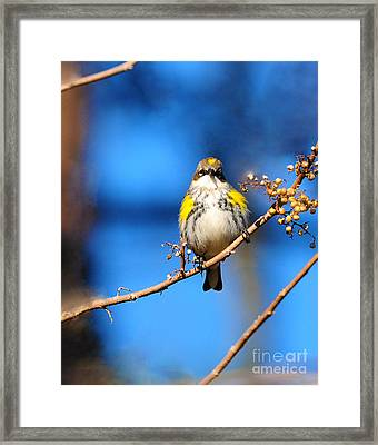 Yellow-rumped Warbler Framed Print by Olivia Hardwicke