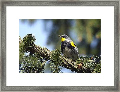 Yellow-rumped Warbler With Grubs Framed Print