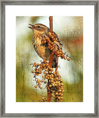 Yellow-rumped Warbler With Seed Framed Print by Cheryl Ann Quigley