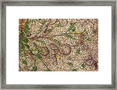 Yellow Saradella (ornithopus Compressus) Framed Print by Bob Gibbons