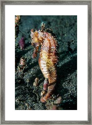 Yellow Seahorse Framed Print by Georgette Douwma