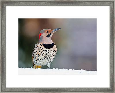 Yellow Shafted Flicker In Snow Framed Print