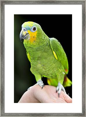 Yellow-shouldered Amazon Parrot Framed Print by Elena Elisseeva