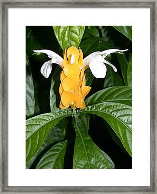 Yellow Shrimp Plant Framed Print