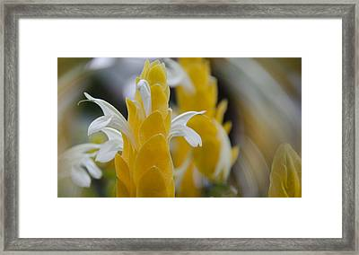 Yellow Shrimp Swirl Framed Print by Penny Lisowski