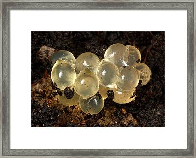 Yellow Slug Egg Cluster Framed Print